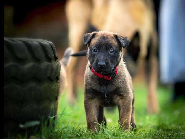 Belgischer Schäferhund Welpen kaufen