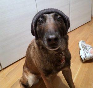 Malinois Charakter Hund