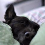 belgischer schäferhund schwarz
