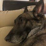 Belgischer Schäferhund alt